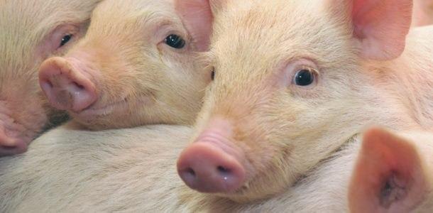 козерог свинья характеристика