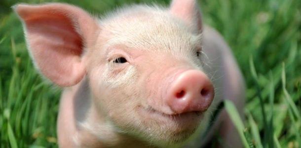 стрелец гороскоп на год свиньи