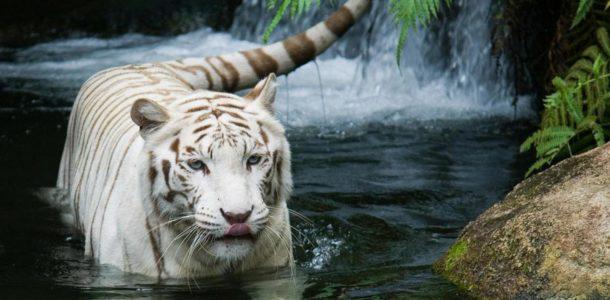 eastern horoscope tiger