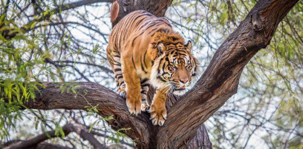 tiger forecast for 2019
