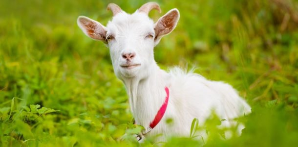 Eastern horoscope for the Goat for 2019