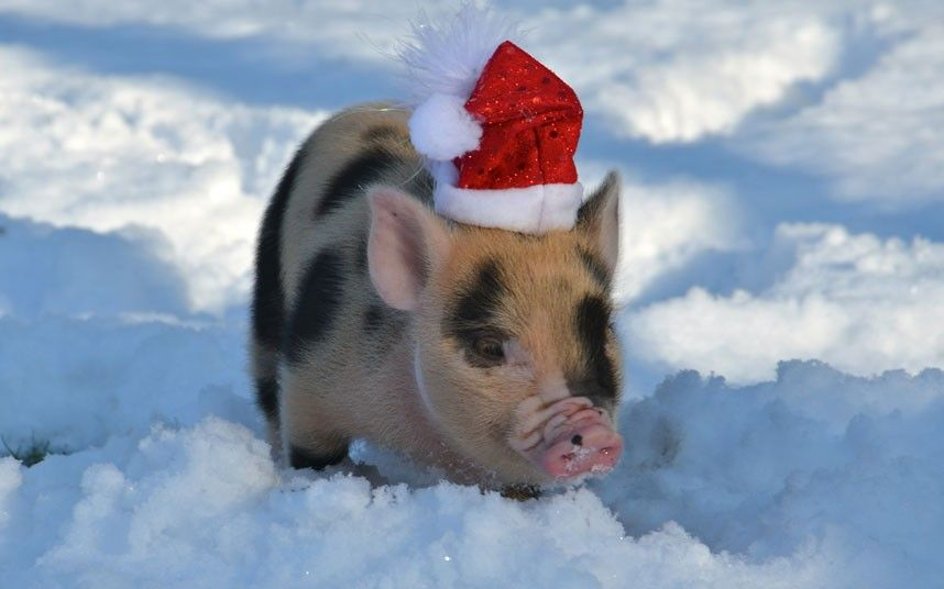 Картинки смешные новогодние свинки